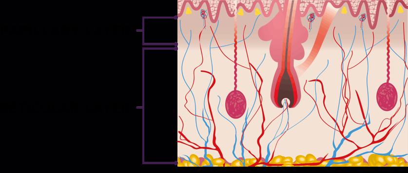 The dermis skin