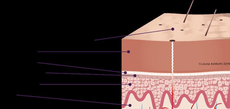 The stratum corneum